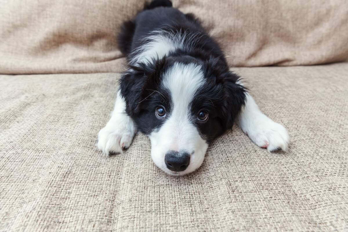 Collie puppy on the couch