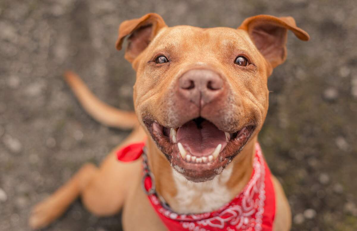 Smiling red nosed Pitbull breed with bandana
