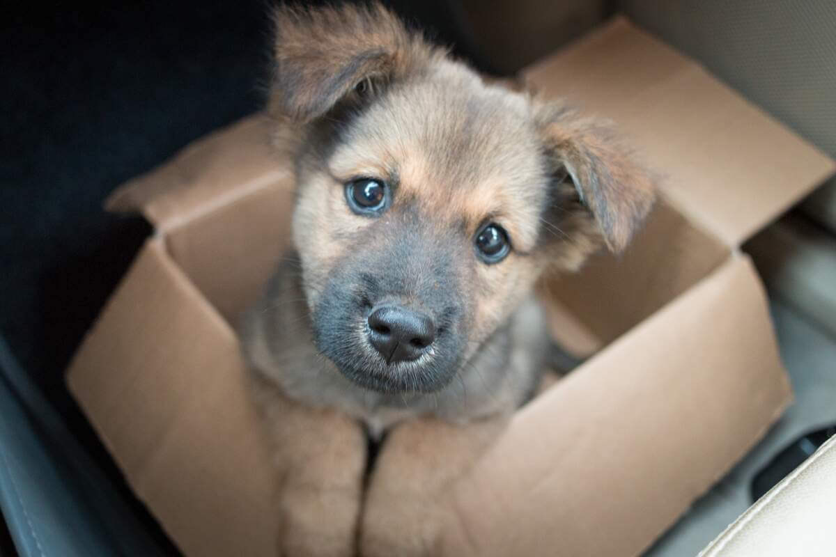 Tan puppy in a box